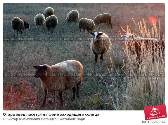 Отара овец пасется на фоне заходящего солнца, фото № 262167, снято 21 октября 2005 г. (c) Виктор Филиппович Погонцев / Фотобанк Лори