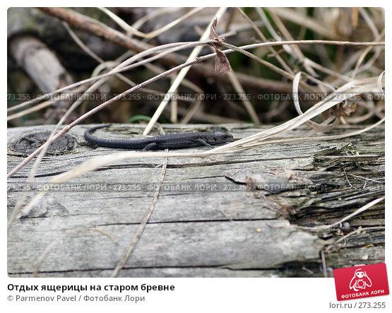 Отдых ящерицы на старом бревне, фото № 273255, снято 2 мая 2008 г. (c) Parmenov Pavel / Фотобанк Лори