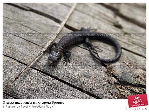 Отдых ящерицы на старом бревне, фото № 273259, снято 2 мая 2008 г. (c) Parmenov Pavel / Фотобанк Лори