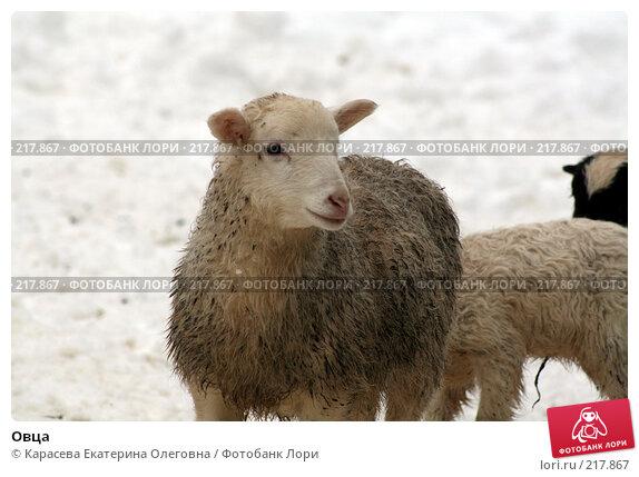 Овца, фото № 217867, снято 7 февраля 2008 г. (c) Карасева Екатерина Олеговна / Фотобанк Лори