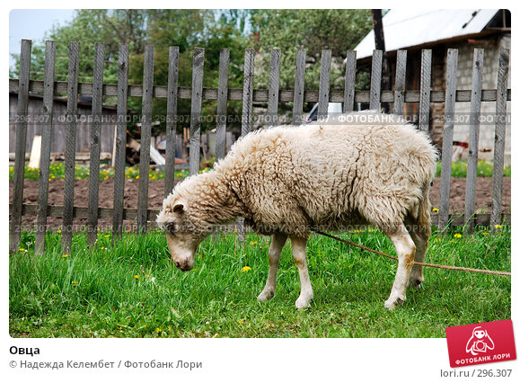Овца, фото № 296307, снято 19 мая 2008 г. (c) Надежда Келембет / Фотобанк Лори