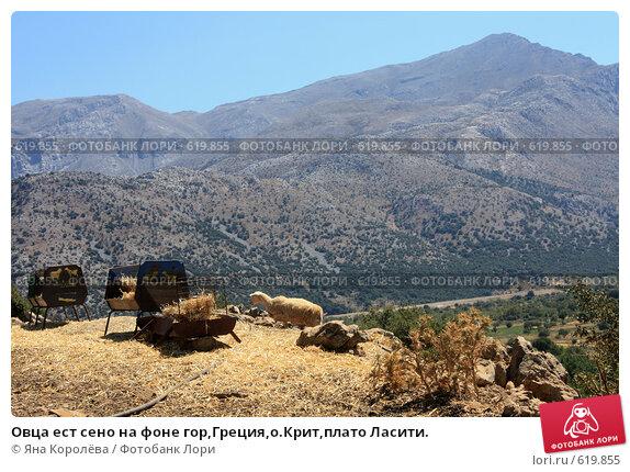 Купить «Овца ест сено на фоне гор,Греция,о.Крит,плато Ласити.», эксклюзивное фото № 619855, снято 9 августа 2008 г. (c) Яна Королёва / Фотобанк Лори