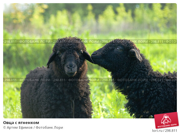 Овца с ягненком, фото № 298811, снято 2 мая 2008 г. (c) Артем Ефимов / Фотобанк Лори