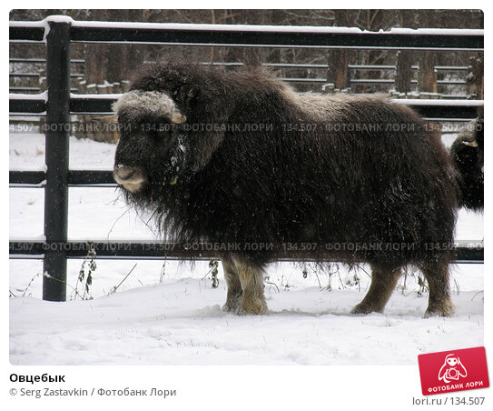 Овцебык, фото № 134507, снято 7 ноября 2004 г. (c) Serg Zastavkin / Фотобанк Лори