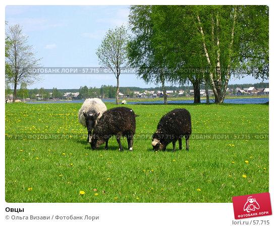 Овцы, эксклюзивное фото № 57715, снято 25 мая 2004 г. (c) Ольга Визави / Фотобанк Лори