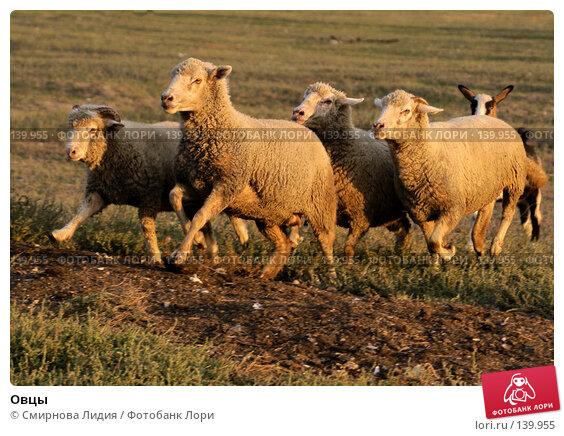 Овцы, фото № 139955, снято 23 сентября 2007 г. (c) Смирнова Лидия / Фотобанк Лори