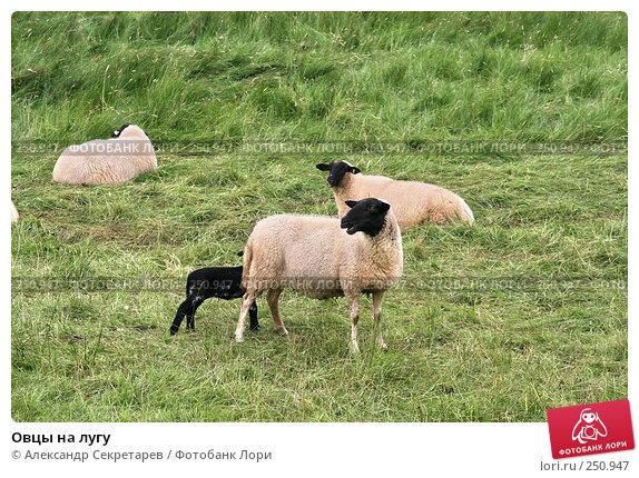 Купить «Овцы на лугу», фото № 250947, снято 12 июля 2007 г. (c) Александр Секретарев / Фотобанк Лори