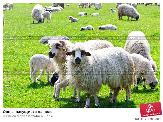 Купить «Овцы, пасущиеся на поле», фото № 5783803, снято 7 апреля 2014 г. (c) Ольга Марк / Фотобанк Лори