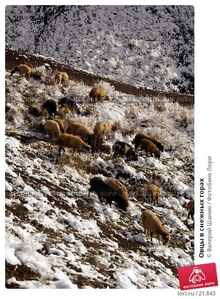 Овцы в снежных горах, фото № 21843, снято 21 ноября 2006 г. (c) Валерий Шанин / Фотобанк Лори