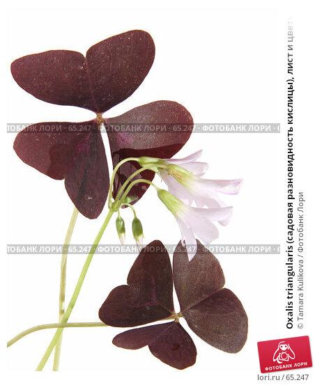 Oxalis triangularis (садовая разновидность кислицы), лист и цветы, изолированное изображение, фото № 65247, снято 24 июля 2007 г. (c) Tamara Kulikova / Фотобанк Лори