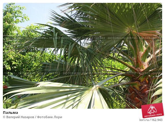Пальма, фото № 162943, снято 22 августа 2007 г. (c) Валерий Торопов / Фотобанк Лори