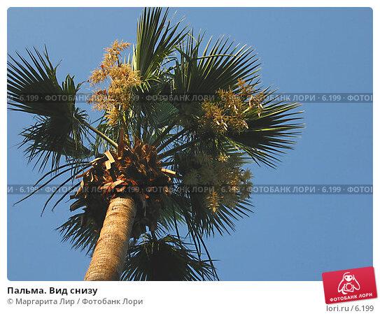 Пальма. Вид снизу, фото № 6199, снято 4 июля 2006 г. (c) Маргарита Лир / Фотобанк Лори