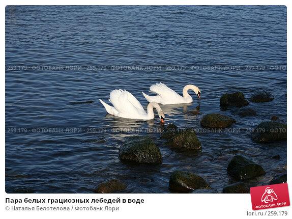 Пара белых грациозных лебедей в воде, фото № 259179, снято 29 марта 2008 г. (c) Наталья Белотелова / Фотобанк Лори