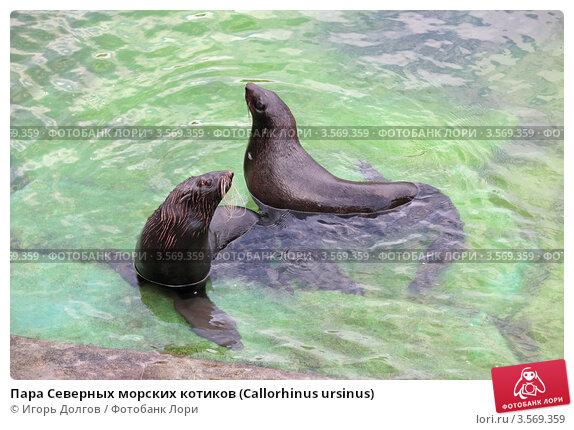 Пара Северных морских котиков (Callorhinus ursinus) Стоковое фото, фотограф Игорь Долгов / Фотобанк Лори