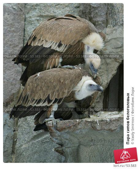 Купить «Пара сипов белоголовых», фото № 53583, снято 22 февраля 2003 г. (c) Vasily Smirnov / Фотобанк Лори