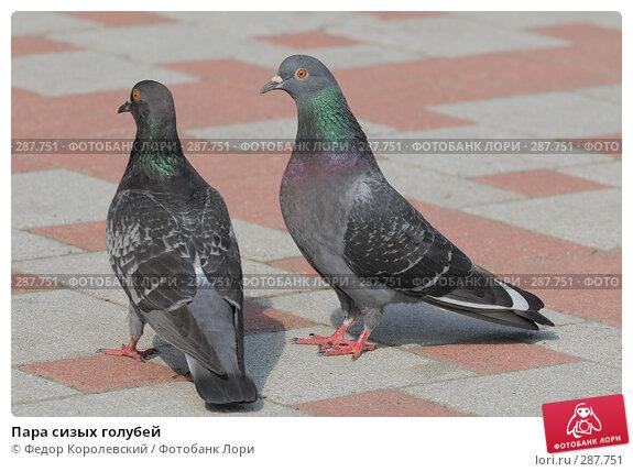 Пара сизых голубей, фото № 287751, снято 15 мая 2008 г. (c) Федор Королевский / Фотобанк Лори