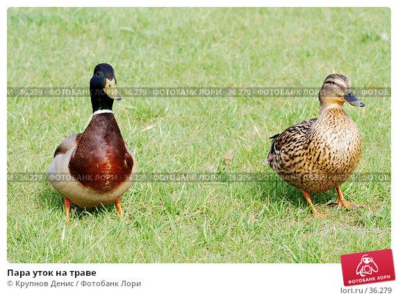 Пара уток на траве, фото № 36279, снято 27 марта 2007 г. (c) Крупнов Денис / Фотобанк Лори