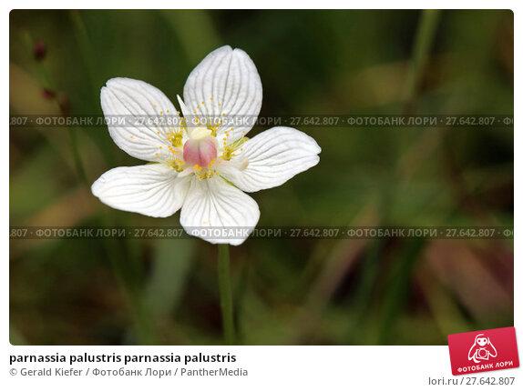 Купить «parnassia palustris parnassia palustris», фото № 27642807, снято 18 ноября 2018 г. (c) PantherMedia / Фотобанк Лори