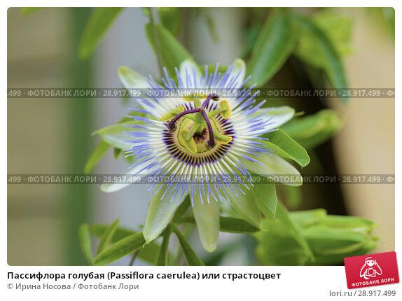 Пассифлора голубая (Passiflora caerulea) или страстоцвет. Стоковое фото № 28917499, фотограф Ирина Носова / Фотобанк ЛориГлавная страницаМенюКорзинаВыходКорзинаКорзина