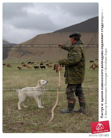 Пастух и  щенок кавказского волкодава охраняют стадо коров в горах Дагестана, фото № 251683, снято 15 мая 2007 г. (c) Виктор Филиппович Погонцев / Фотобанк Лори