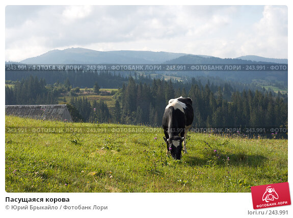 Купить «Пасущаяся корова», фото № 243991, снято 2 сентября 2007 г. (c) Юрий Брыкайло / Фотобанк Лори