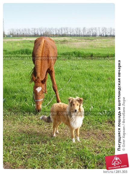 Пасущаяся лошадь и шотландская овчарка, фото № 281303, снято 20 апреля 2008 г. (c) Олег Хархан / Фотобанк Лори
