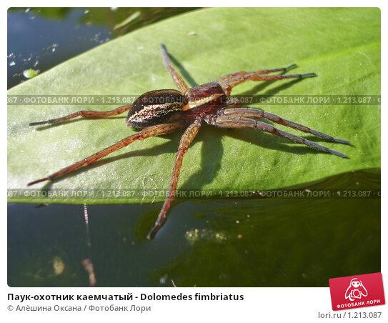 Купить «Паук-охотник каемчатый - Dolomedes fimbriatus», фото № 1213087, снято 8 июня 2009 г. (c) Алёшина Оксана / Фотобанк Лори
