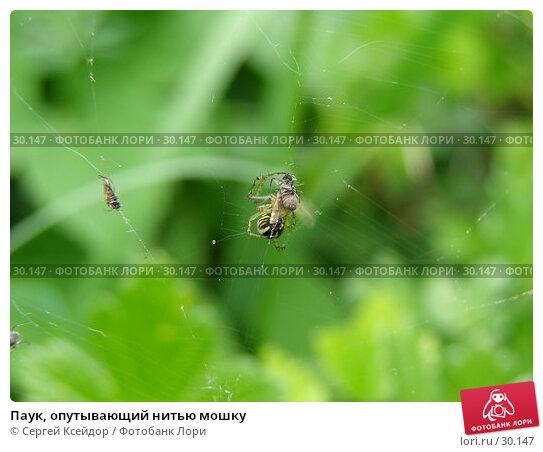 Паук, опутывающий нитью мошку, фото № 30147, снято 4 июня 2006 г. (c) Сергей Ксейдор / Фотобанк Лори