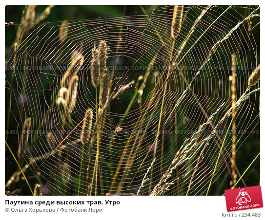 Паутина среди высоких трав. Утро, фото № 234483, снято 8 августа 2007 г. (c) Ольга Хорькова / Фотобанк Лори