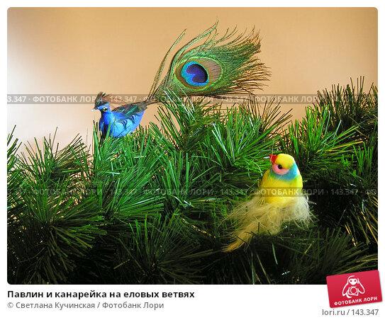 Павлин и канарейка на еловых ветвях, фото № 143347, снято 26 марта 2017 г. (c) Светлана Кучинская / Фотобанк Лори