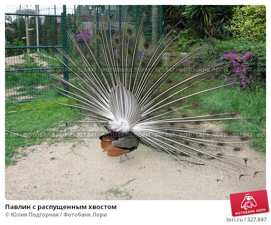 Купить «Павлин с распущенным хвостом», фото № 327847, снято 13 июня 2008 г. (c) Юлия Селезнева / Фотобанк Лори
