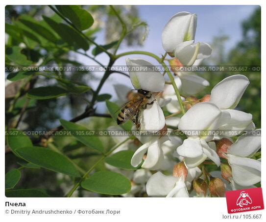 Пчела, фото № 105667, снято 27 мая 2006 г. (c) Dmitriy Andrushchenko / Фотобанк Лори