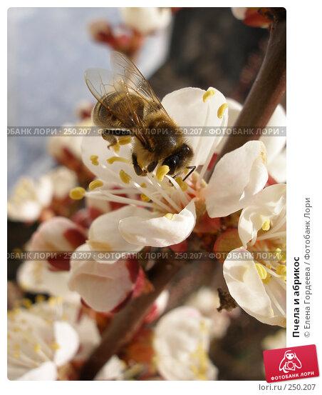 Пчела и абрикос, фото № 250207, снято 8 апреля 2008 г. (c) Елена Гордеева / Фотобанк Лори
