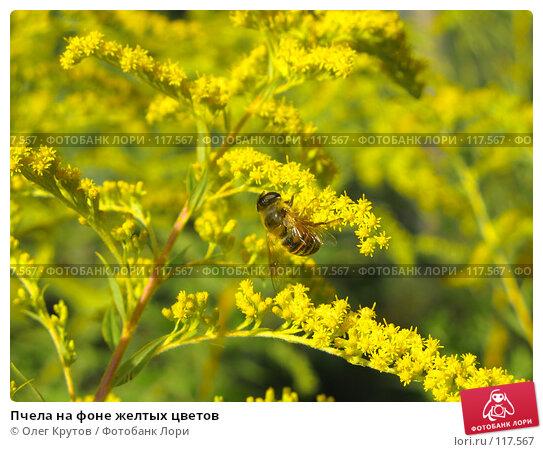Купить «Пчела на фоне желтых цветов», фото № 117567, снято 11 декабря 2017 г. (c) Олег Крутов / Фотобанк Лори