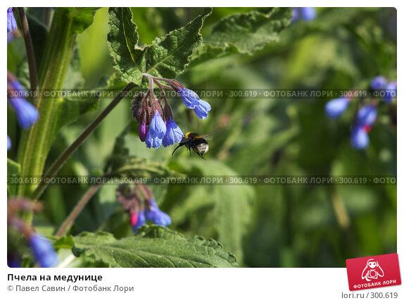 Пчела на медунице, фото № 300619, снято 10 мая 2008 г. (c) Павел Савин / Фотобанк Лори