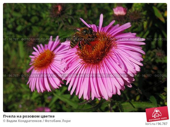 Пчела на розовом цветке, фото № 96787, снято 27 февраля 2017 г. (c) Вадим Кондратенков / Фотобанк Лори