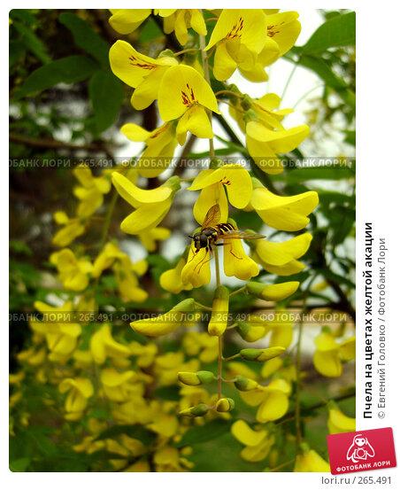 Купить «Пчела на цветах желтой акации», фото № 265491, снято 27 апреля 2008 г. (c) Евгений Головко / Фотобанк Лори