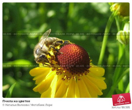Пчела на цветке, фото № 80595, снято 12 августа 2007 г. (c) Наталья Волкова / Фотобанк Лори