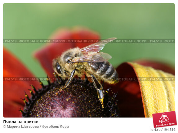 Пчела на цветке, фото № 194519, снято 8 августа 2007 г. (c) Марина Шатерова / Фотобанк Лори