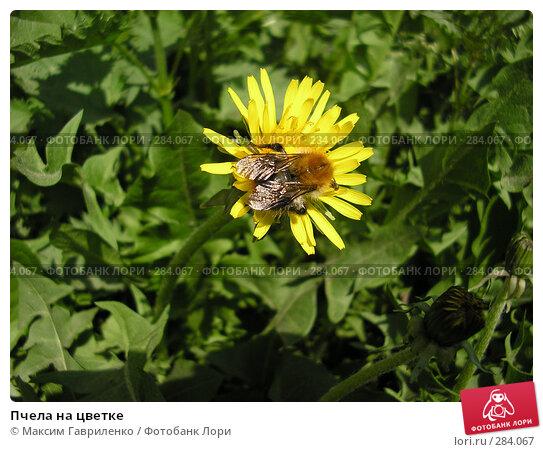 Пчела на цветке, фото № 284067, снято 13 мая 2008 г. (c) Максим Гавриленко / Фотобанк Лори