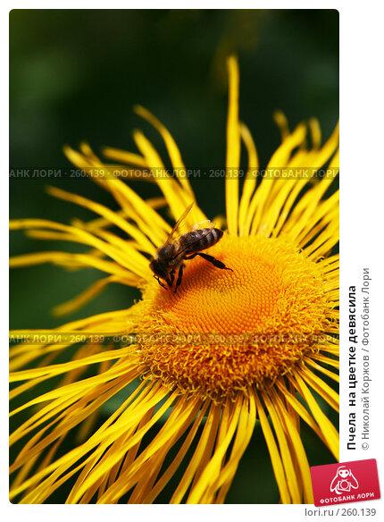 Пчела  на цветке девясила, фото № 260139, снято 14 июня 2007 г. (c) Николай Коржов / Фотобанк Лори