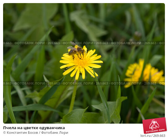 Купить «Пчела на цветке одуванчика», фото № 269663, снято 20 ноября 2017 г. (c) Константин Босов / Фотобанк Лори