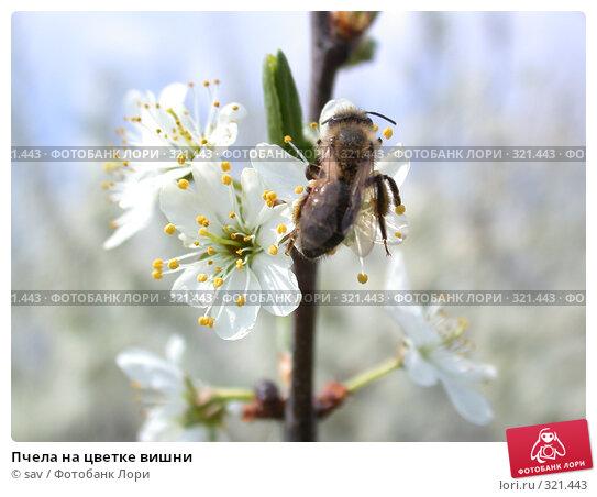 Пчела на цветке вишни, фото № 321443, снято 1 мая 2005 г. (c) sav / Фотобанк Лори