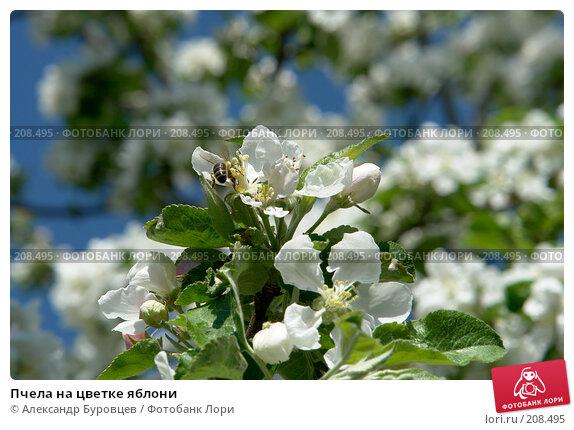 Купить «Пчела на цветке яблони», фото № 208495, снято 20 мая 2007 г. (c) Александр Буровцев / Фотобанк Лори