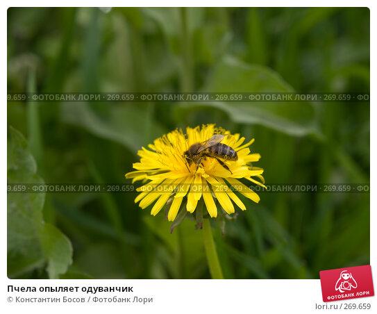 Пчела опыляет одуванчик, фото № 269659, снято 22 февраля 2017 г. (c) Константин Босов / Фотобанк Лори