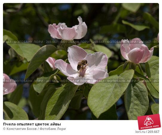 Пчела опыляет цветок айвы, фото № 269667, снято 16 августа 2017 г. (c) Константин Босов / Фотобанк Лори
