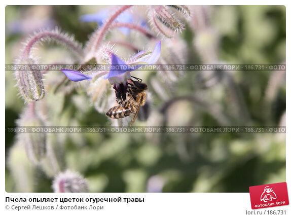 Пчела опыляет цветок огуречной травы, фото № 186731, снято 28 июля 2007 г. (c) Сергей Лешков / Фотобанк Лори