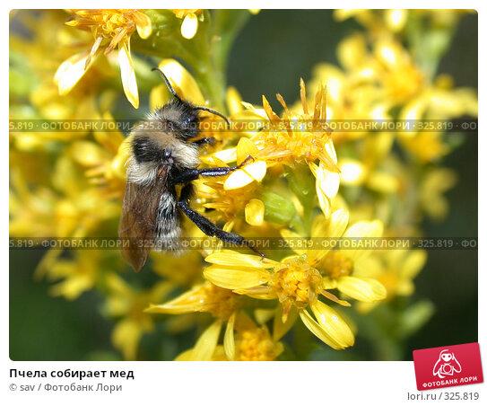 Пчела собирает мед, фото № 325819, снято 19 августа 2006 г. (c) sav / Фотобанк Лори