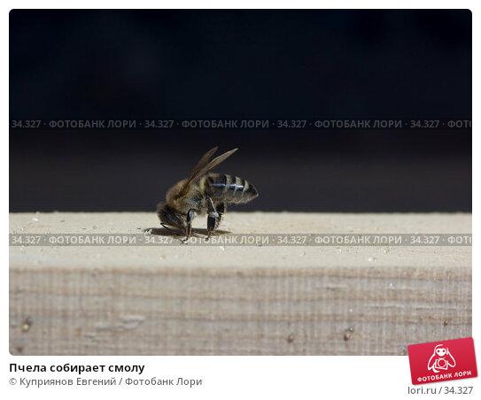 Пчела собирает смолу, фото № 34327, снято 14 апреля 2007 г. (c) Куприянов Евгений / Фотобанк Лори