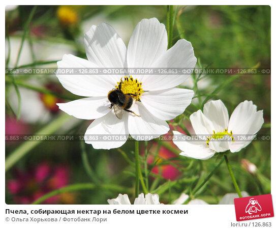 Пчела, собирающая нектар на белом цветке космеи, фото № 126863, снято 21 августа 2006 г. (c) Ольга Хорькова / Фотобанк Лори